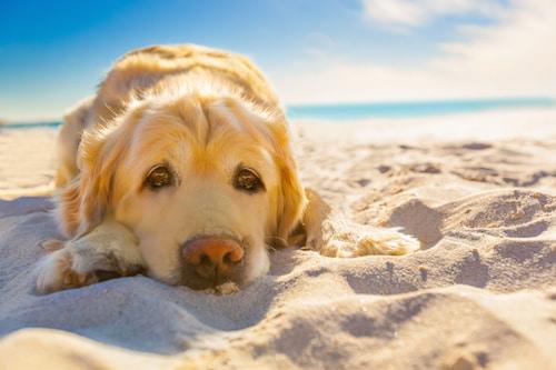 Votre chien halète ? Il salive beaucoup ? Il est très chaud ? Il souffre peut-être d'un coup de chaleur.